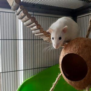 Lissy Rat